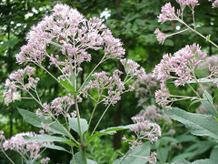 lilac(0.0), shrub(0.0), produce(0.0), flower(1.0), cow parsley(1.0), plant(1.0), lilac(1.0), herb(1.0), anthriscus(1.0), wildflower(1.0), flora(1.0), meadowsweet(1.0),