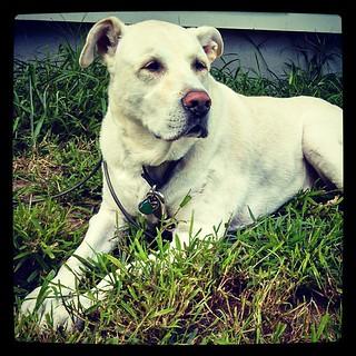 Zeus #bigdog #love #dogstagram