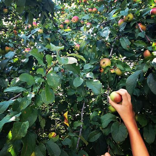 #HiddenHarvest of apples in #ottWestboro!!