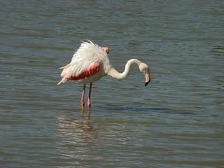 158 flamingo