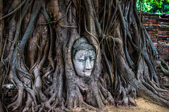 Buddha roots