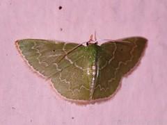 Emerald Moth - possibly Nemoria sp- subfamily Geometrinae - family Geometridae