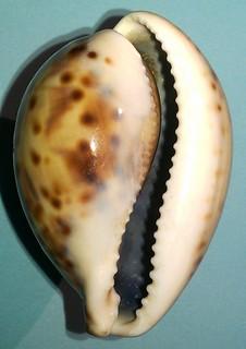 Identification Cypraeidae juvénile = cypraea tigris 10207800893_4b8850acb7_n
