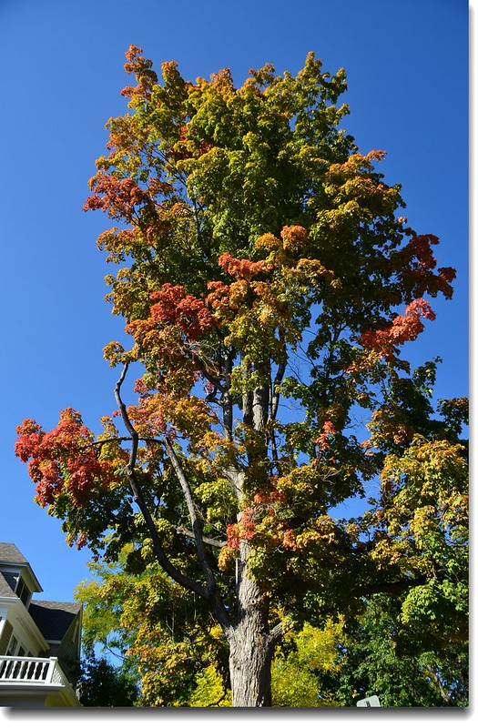 Maple in Fall, Mapleton Hill, Boulder (60)
