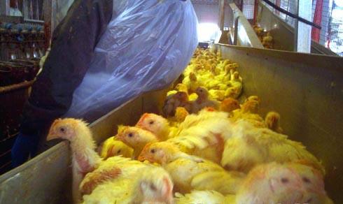זוגלובק - תרנגולים תשושים ופצועים בדרך לשחיטה