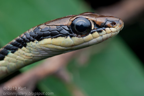 Painted Bronzeback Snake (Dendrelaphis pictus) with ticks IMG_2459 copy