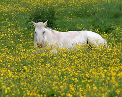 Horse in buttercup meadow