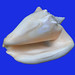 Milk conch - Photo (c) Trish Hartmann, some rights reserved (CC BY)