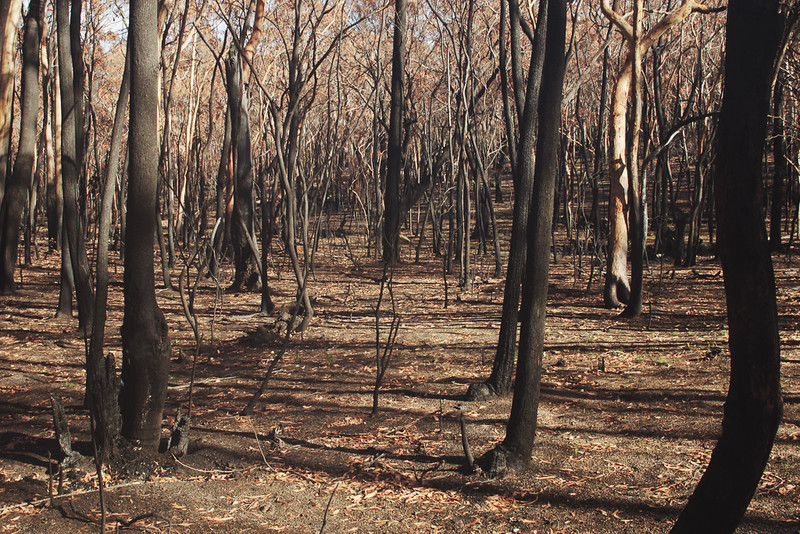 Post forest fire, Newnes Plateau State Forest