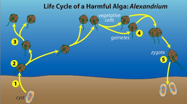 渦鞭毛藻的生殖。(1~3)無性生殖;(4~5)有性生殖。出處:Woods Hole Oceanographic Institution