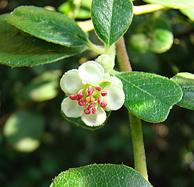 Header of Amelanchier denticulata