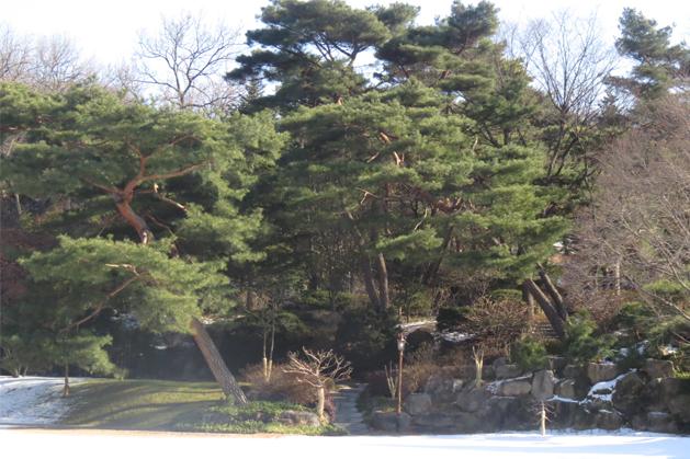 青瓦台裡的百年老樹