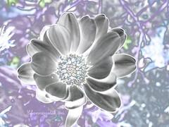 Hebammenpolitik Polarstern lila