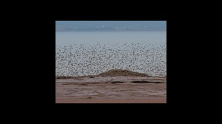 Sandpipers at Evangeline Beach