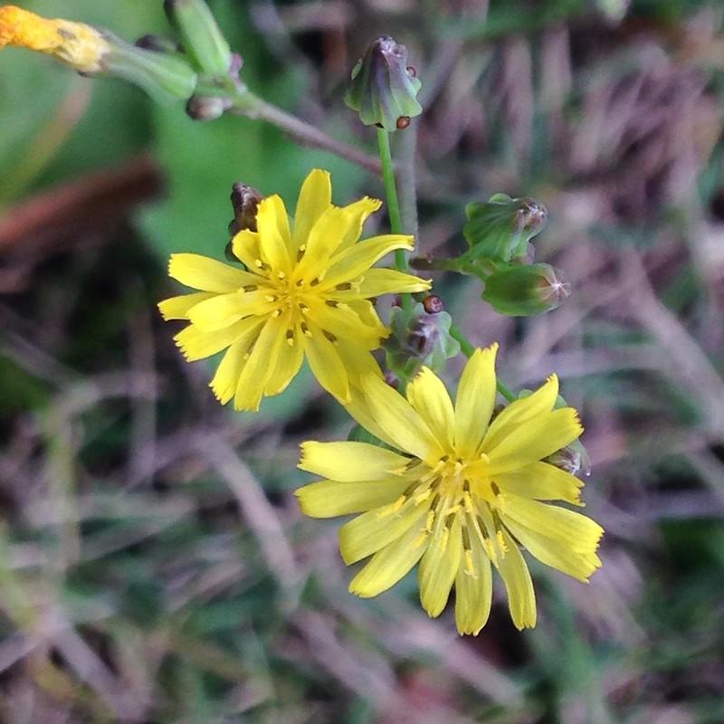 猫耳菊(学名:Hypochaeris radicata),又译猫儿菊、猫叶菊、猫耳叶菊,日本名为豚草,是一种多年生的草本植物,一般在草地上发现。猫耳菊是欧洲的原生植物,但亦透过人工引入到美洲、日本、澳大利亚及新西兰,台湾以台中福寿山农场七月的猫耳菊花海为最壮观。由于外形与蒲公英很相似,所以在英语地区又名假蒲公英。 猫耳菊整棵都可食用,不过,一般都只吃叶和根。叶的味道清淡,可以生吃、用来拌沙律、炒或蒸煮;由于老耳比较韧和多纤维,一般只食用嫩叶。有些品种的叶有苦味,但并不常见。另外,根部一般会焙干,被用作咖啡