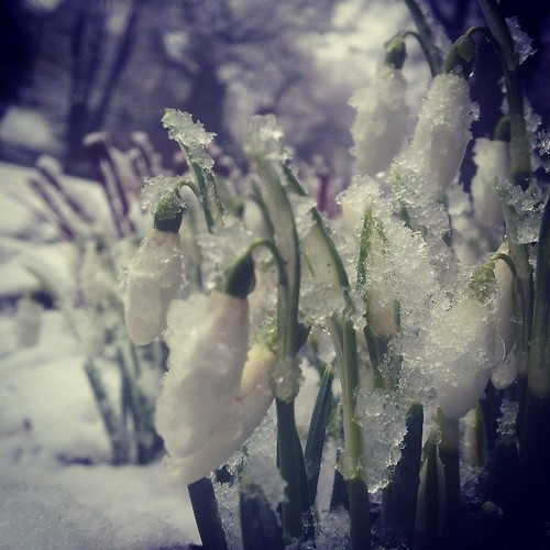 #snow on the #snowdrops in #Buxton