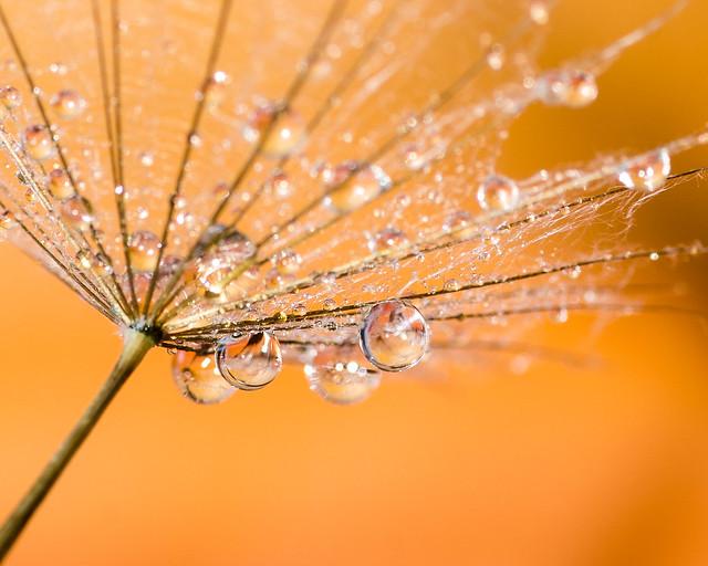 Anniison - Orange dandelion drops