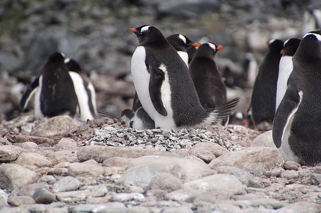 221 Elephant Island - Point Lookout Kolonie ezelspinguins