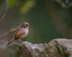 13褐頭花翼