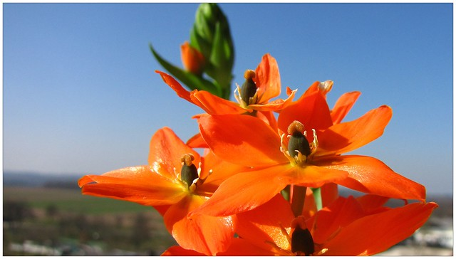 Ornithogalum in the spring sky
