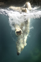 Polar Bear Swimming 03-08-14