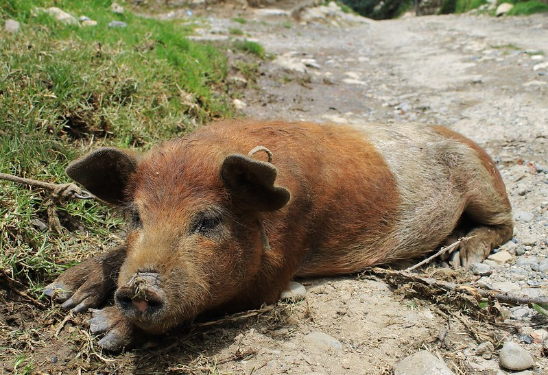 If only all the stupid dogs in Peru would morph into lovely, relaxed pigs...