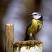 Blue Tit Warnham by Simon Clarkson Photography