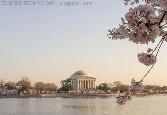 DC cherry blossoms @ tidal basin (2014)