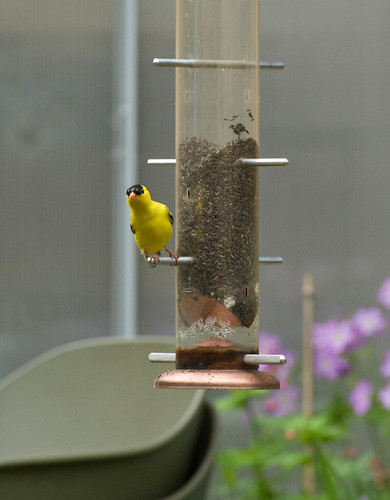 DSC_8821 goldfinch