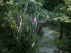 Digitalis purpurea - Giardini del Casoncello