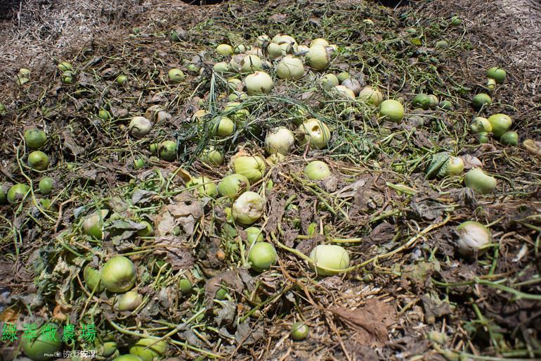 綠翠微農場--無毒美濃瓜 (14)