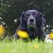 Poppy, buttercups and bokeh by Pog's pix