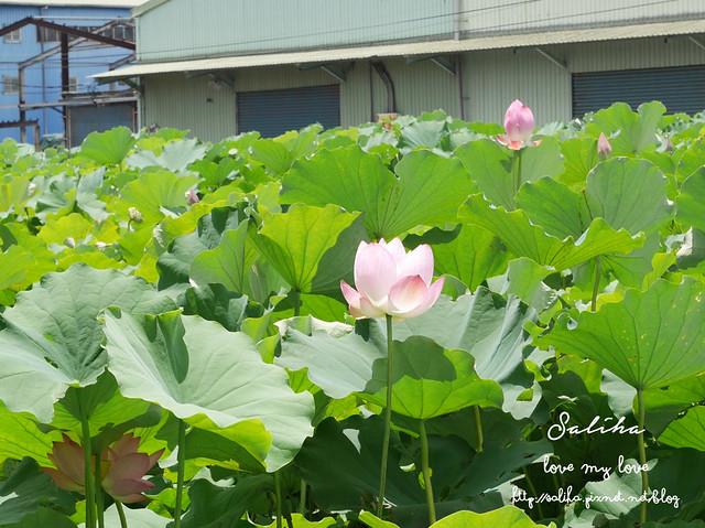 三峽蓮花景點 (7)