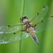 Four-spotted Chaser by Peter Maguire