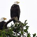 2014-06-01 Bald Eagle Pair (D90 Archives) (1024x680)