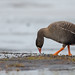 Lesser White-fronted Goose by Doug Gochfeld