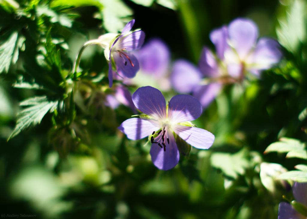 Geranium pratense (Герань луговая)