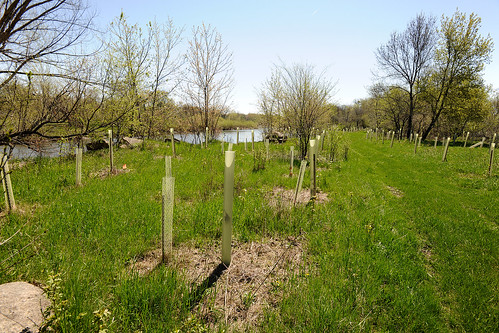 Newly planted hardwoods along the Little Cedar River will provide scores of habit for wildlife.