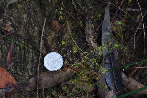Pale Sundew - Drosera peltata