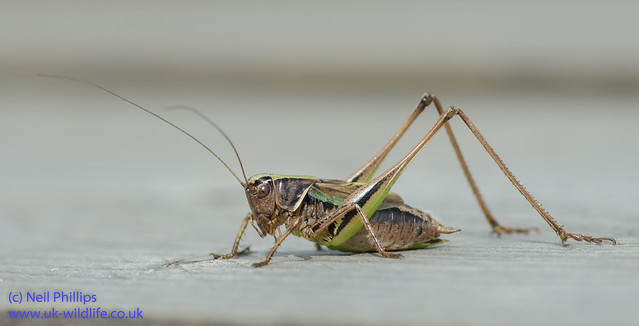 Bog bush cricket-2