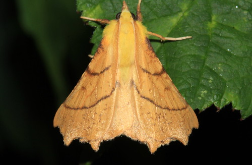 1913 Canary-shouldered Thorn 21566