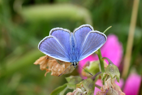 Common Blue   Polyommatus icarus (m)