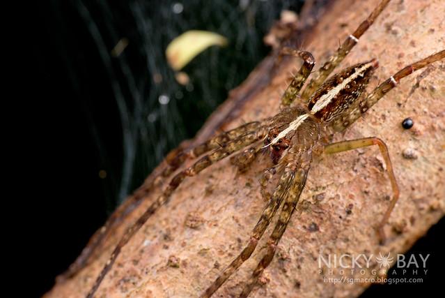 Huntsman Spider (Heteropoda sp.) - DSC_3796