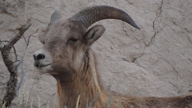 Bighorn Sheep, Sowbelly Canyon