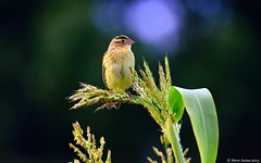 Bobolink (Dolichonyx oryzivorus) - nothing says fall like a BOBO in the afternoon sun