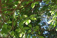 Leaves in Wahroonga
