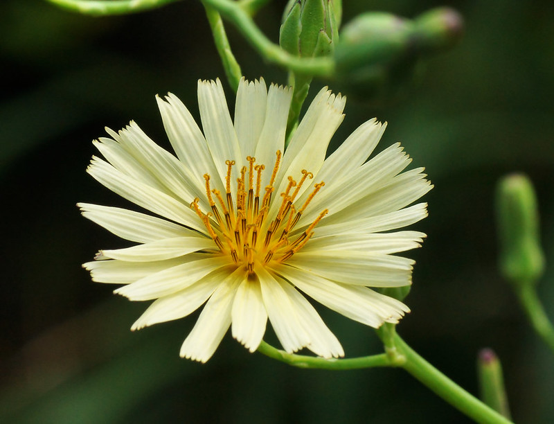 Lactuca indica アキノノゲシ
