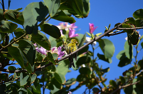 Canary in an Orchid Tree, Tenerife