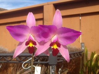 Laelia anceps guerrero 'Broadview' AM/AOS