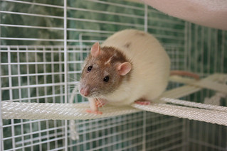 Coco the rat climbing ropes